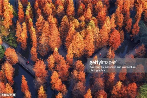 Metasequoia trail in autumn
