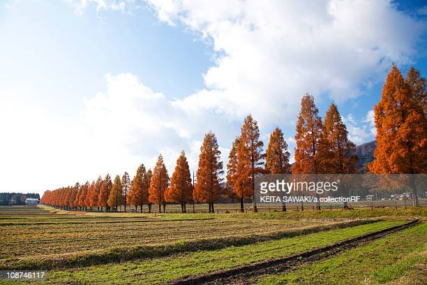 Metasequoia Trees by Fields