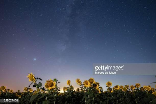 Meteor crossing the night sky over a sunflowers field during the Perseid meteor shower.