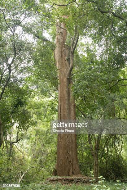 7 meter girth largest rose wood tree in Yanaipallam near Pillor Dam of Western Ghats in Nilgiris Biosphere, Tamil Nadu, India