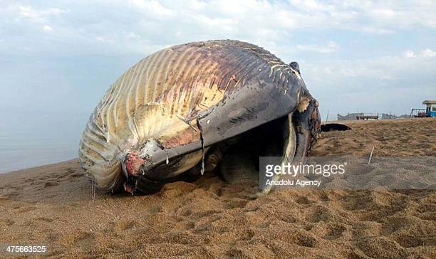 CITY KUWAIT FEBRUARY 28 A 20 meter long dead Blue Whale lies on the beach after it washed ashore on Failaka Island in Kuwait on February 28 2014