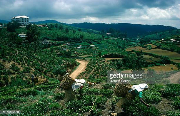 1890 meters above sea level and surrounded by lush tea plantations in Sri Lanka's Hill Country district of Nuwara Eliya women tea pickers bend over...
