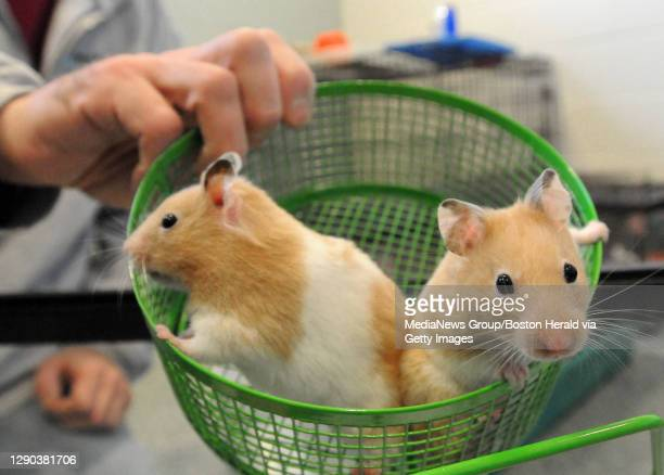 Methuen, MA) The MSPCA Nevins Farm acquired over 90 hamsters from a man who couldn't care for his hundreds of hamsters anymore.