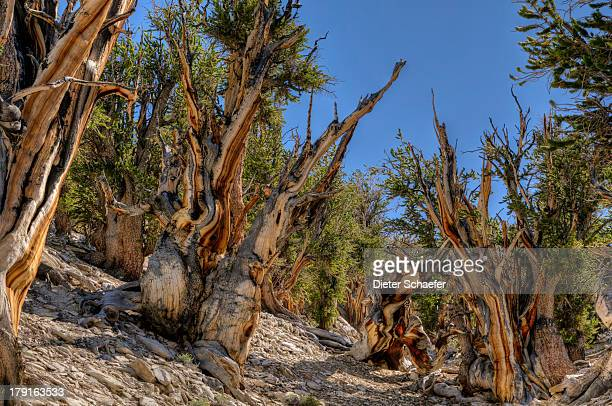 methuselah grove - great basin stock pictures, royalty-free photos & images