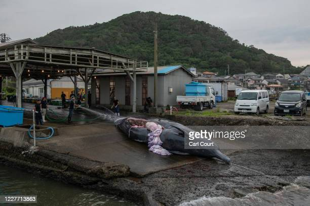 Metre Baird's Beaked Whale is winched into a slaughterhouse on July 21, 2020 in Wada Port, Chiba, Japan. Despite criticism following Japans...