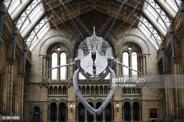 A 252 metre blue whale skeleton is pictured suspended from the ceiling after being unveiled at the Natural History Museum in London on July 13 2017...