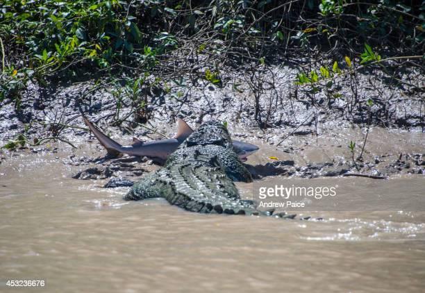 A 55 metre massive crocodile makes mince meat out of a bull shark in Kakadu's Adelaide River on August 5 2014 in Kakadu Australia The crocodile...