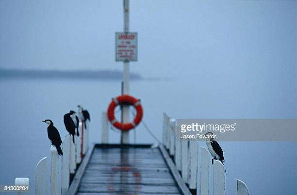 Shags and Cormorants roost on jetty pylons during a rain storm.