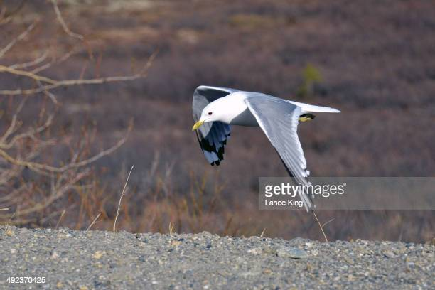 Mew Gull is seen flying on May 13 2014 in Denali National Park Alaska