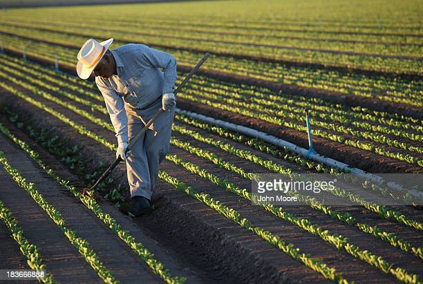 Mexican agricultural worker cultivates lettuce on a farm on October 8 2013 in Holtville California Thousands of Mexican workers cross the border...