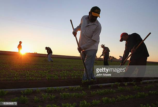 Mexican agricultural workers cultivate lettuce on a farm on October 8 2013 in Holtville California Thousands of Mexican workers cross the border...