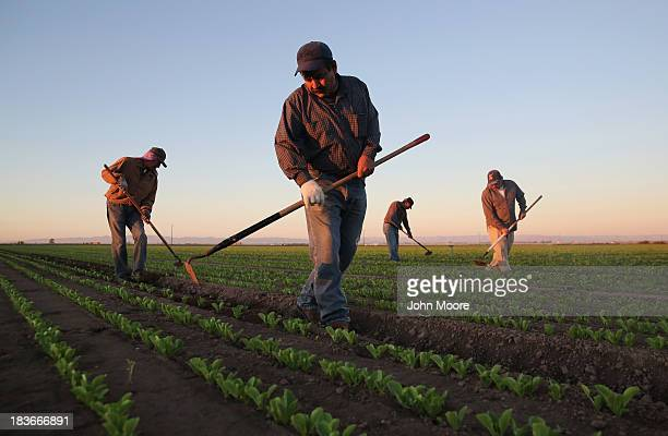 Mexican agricultural workers cultivate romaine lettuce on a farm on October 8 2013 in Holtville California Thousands of Mexican workers cross the...