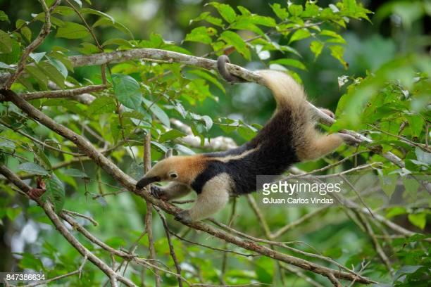 mexican anteater - anteater stock pictures, royalty-free photos & images