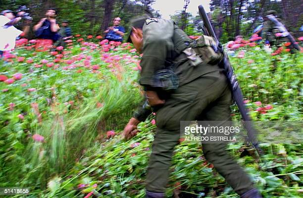 Mexican Army soldier cuts down a poppy field that was cultivated by narcotics traffickers in the mountains surrounding Chilpancingo the capital of...