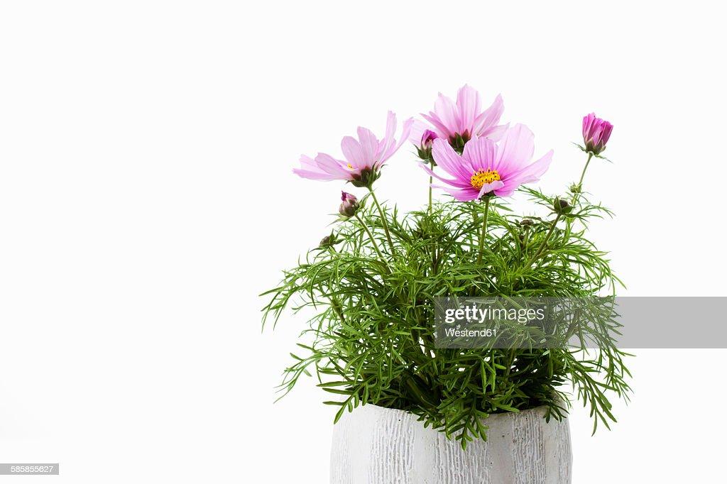 Mexican aster, Cosmos bipinnatus, flowerpot : ストックフォト