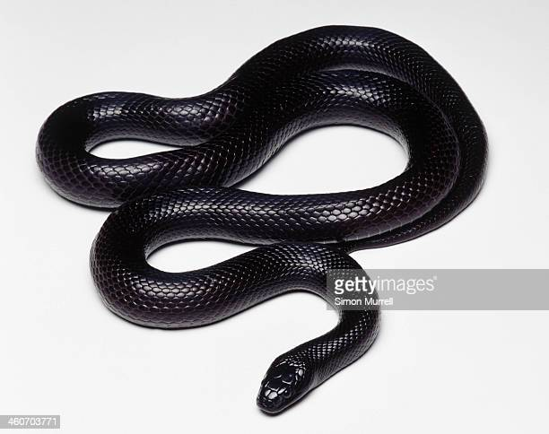 mexican black kingsnake (lampropeltis getula nigrita), studio shot - snake stock pictures, royalty-free photos & images