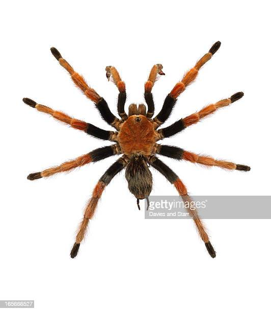 Mexican Blood Leg Tarantula Spider