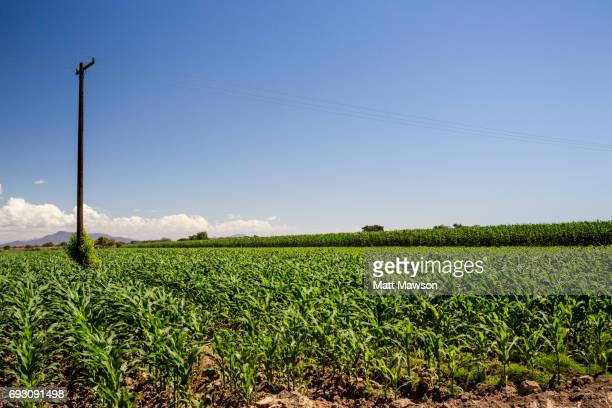 Mexican Cornfields in the state of Sinaloa