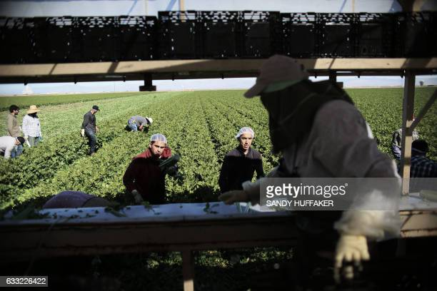 Mexican Farm workers harvest celery in a field of Brawley California in the Imperial Valley on January 31 2017 Many of the farm workers expressed...