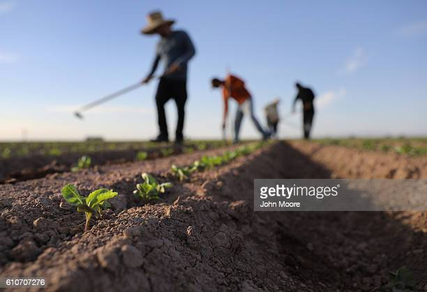 Mexican farm workers hoe a cabbage field on September 27 2016 Holtville California Thousands of Mexican seasonal workers legally cross over daily...
