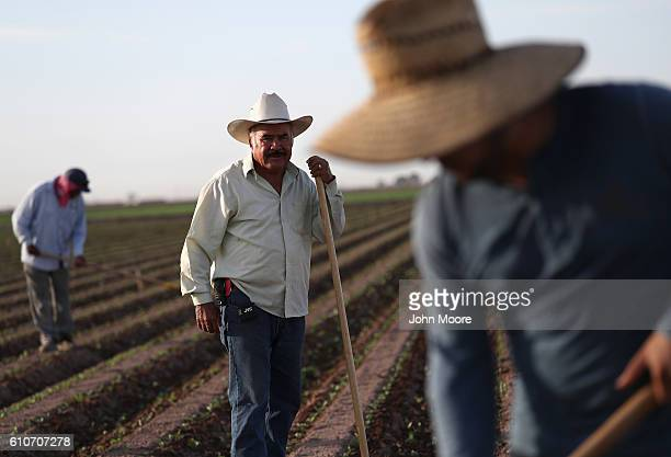Mexican farm workers hoe a cabbage field on September 27 2016 Holtville California Thousands of Mexican seasonal workers legally cross the border...