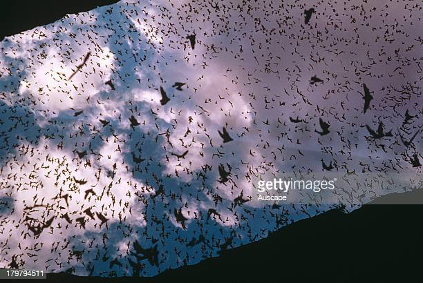 Mexican free tail bats Tadarida brasiliensis swarming out of cave New Mexico USA