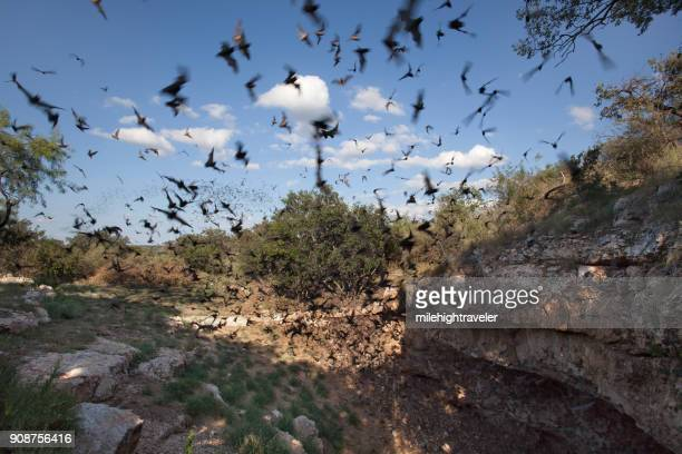Mexican free-tailed bats flying outside cave preserve Texas