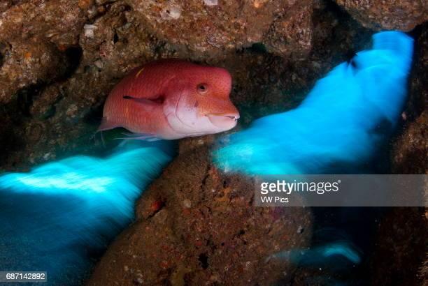 Mexican Hogfish Bodianus diplotaenia Socorro Island revillagigedo archipelago Pacific ocean Mexico