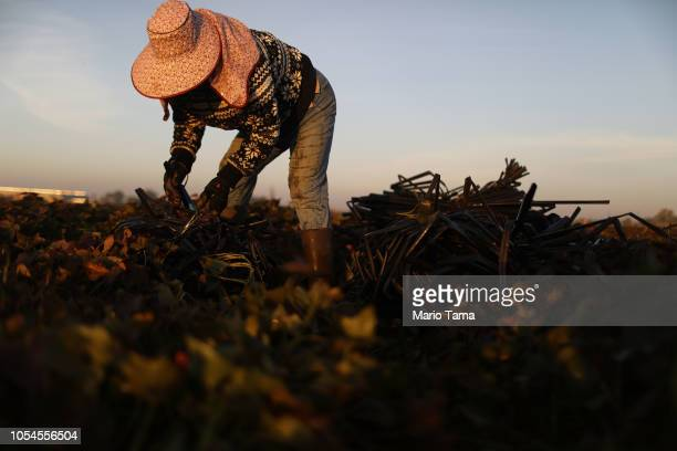 Mexican immigrant Vicky Uriostegui who has lived in the US for 27 years prepares to haul out water hoses on a farm in California's 10th congressional...