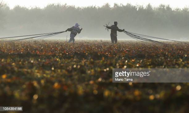 Mexican immigrants haul out water hoses on a farm in California's 10th congressional district on October 27 2018 near Turlock California The hoses...