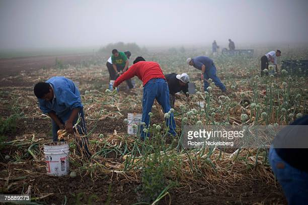 Mexican laborers harvest 1015 yellow onions on April 11 2007 in Rio Grande City Texas The large yellow onions normally sell for $26$30 for a 50 pound...