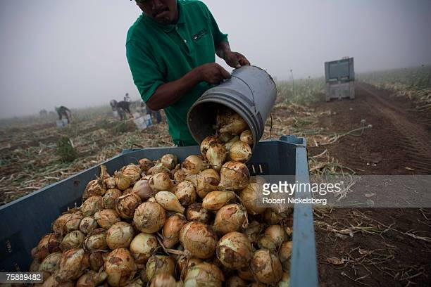Mexican laborers harvest15 yellow onions on April 11 2007 in Rio Grande City Texas The large yellow onions normally sell for $26$30 for a 50 pound...