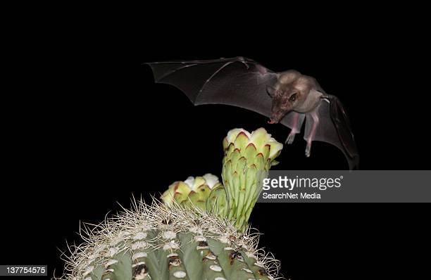 mexican long-nosed bat - saguaro cactus stock pictures, royalty-free photos & images