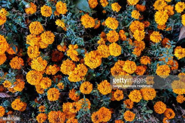 mexican marigold flowers - mexico city, mexico - allerheiligen stock-fotos und bilder