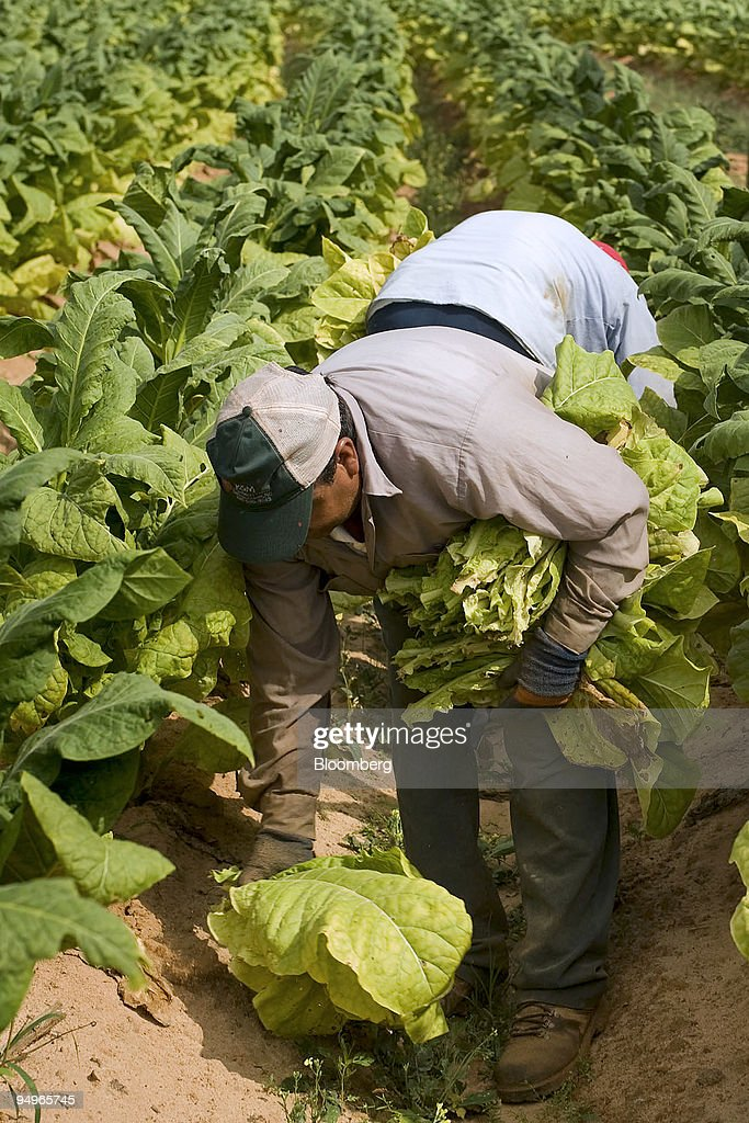 A Mexican migrant worker pulls the bottom leaves from stalks ...