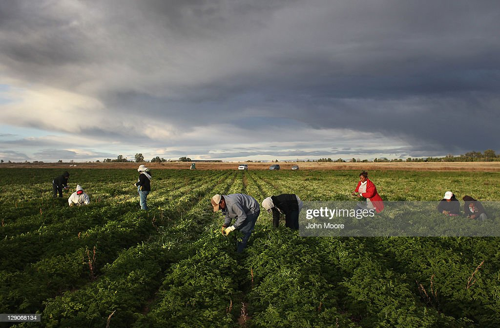 Colorado Farm Suffers As Immigrant Workforce Diminishes : News Photo