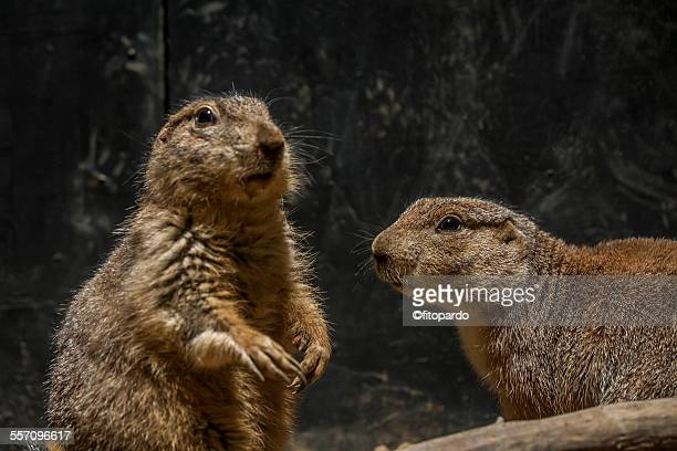 mexican prairie dogs - prairie dog stock pictures, royalty-free photos & images
