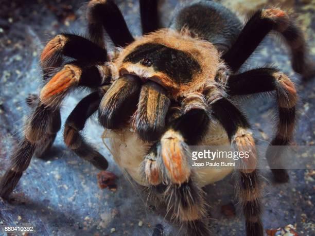Mexican red knee tarantula feeding
