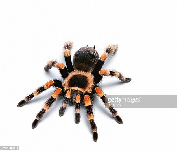 mexican red kneed tarantula - arthropod stock pictures, royalty-free photos & images