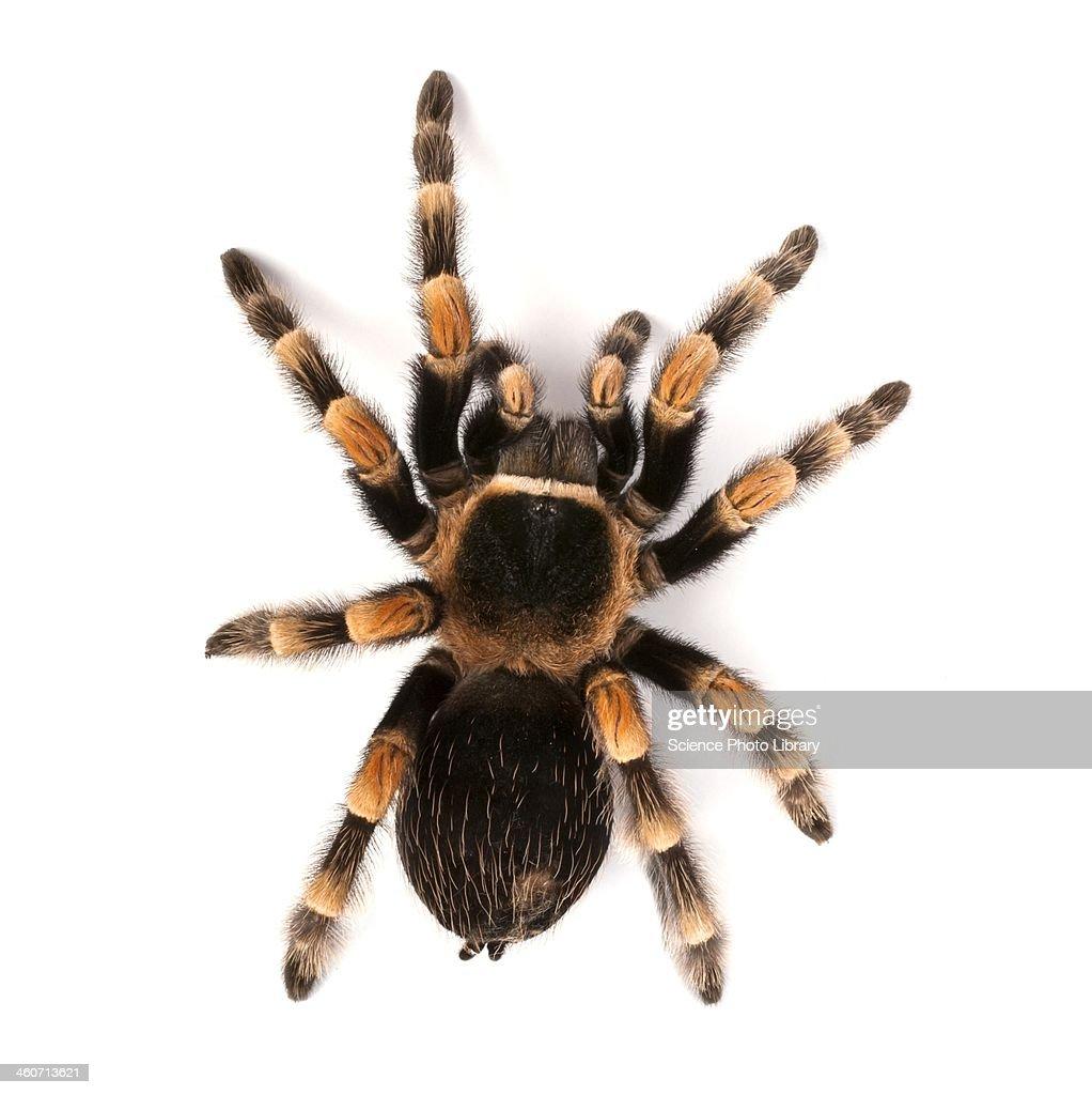 Mexican redknee tarantula : Stock Photo