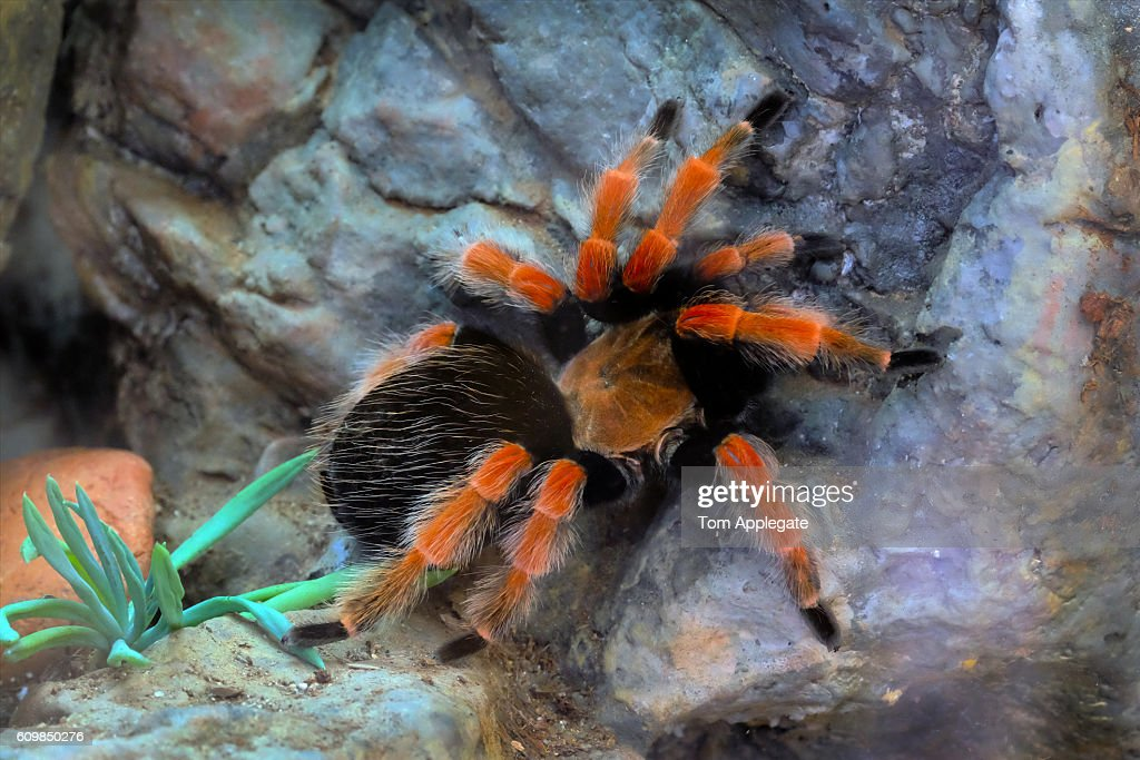 Mexican redknee tarantula : Stock Photo