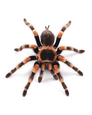Mexican redknee tarantula (Brachypelma smithi), spider female 122206255