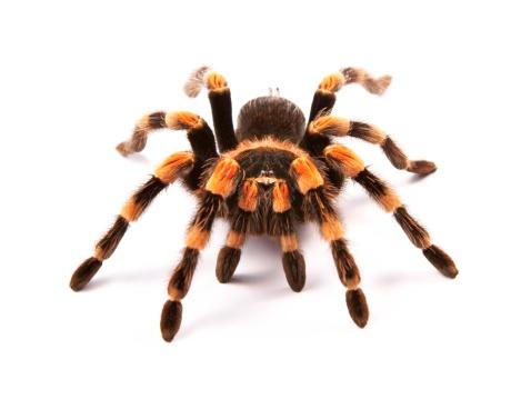 Mexican redknee tarantula (Brachypelma smithi), spider female 180827617