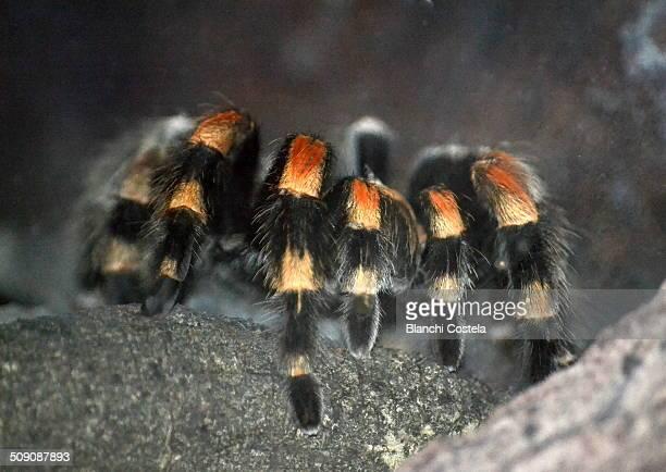 Mexican red-kneed tarantula (Brachypelma smithi)