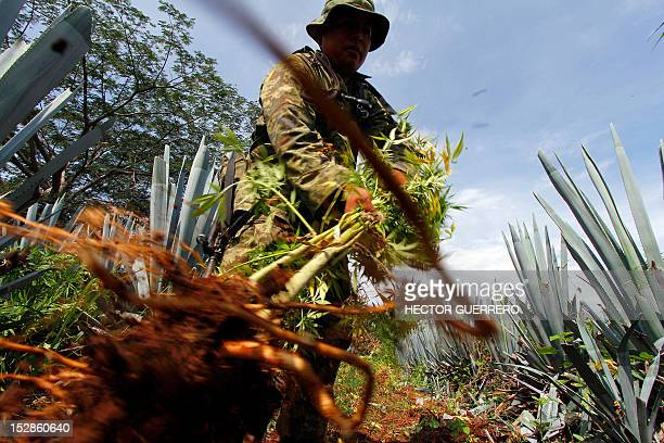 A Mexican soldier pulls up a marijuana plant found amid a field of blue agave the plant used for the production of tequila in a field at El Llano...