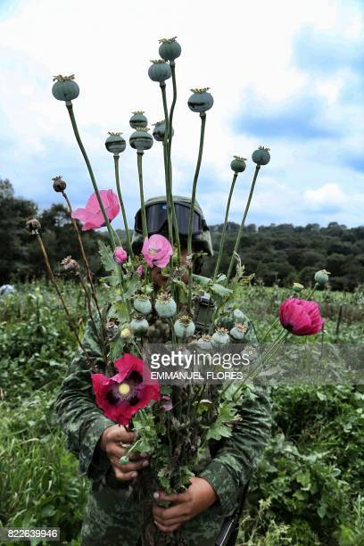 A Mexican soldier pulls up poppies by their roots as part of the army's program to eradicate growing illegal opium production in the community of...