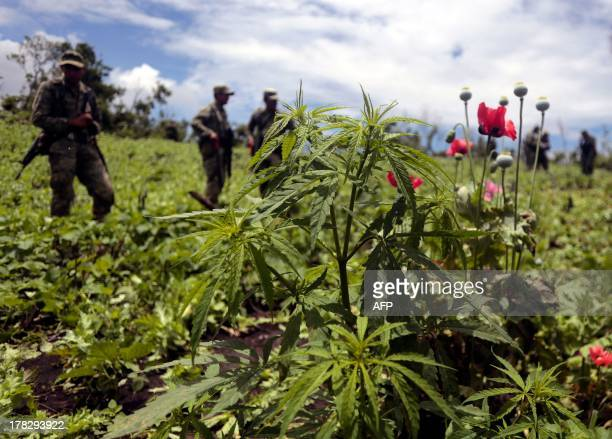 Mexican soldiers stand amidst poppy flowers and marijuana plants during an operation at Petatlan hills in Guerrero state Mexico on August 28 2013...