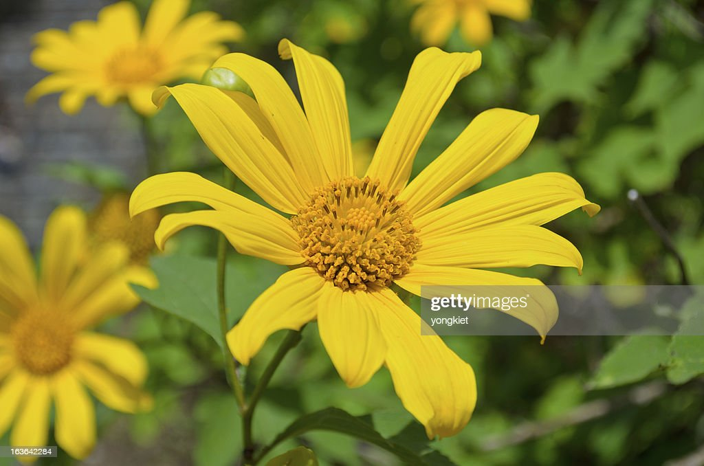 Mexican sunflower weed bright yellow flowers stock photo getty images bright yellow flowers stock photo mightylinksfo