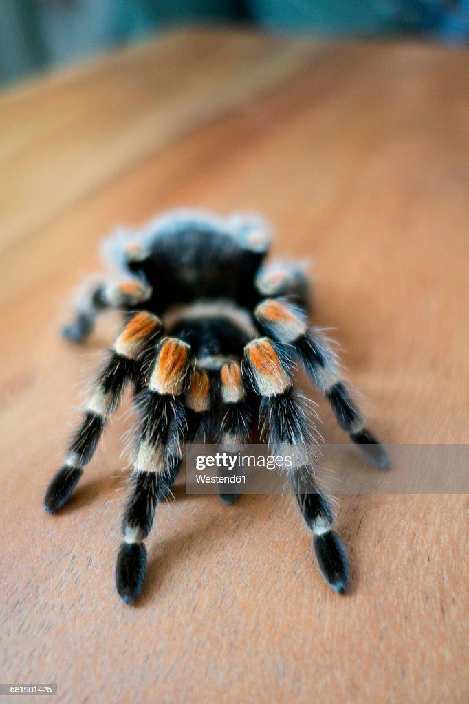 Mexican tarantula : Stock Photo