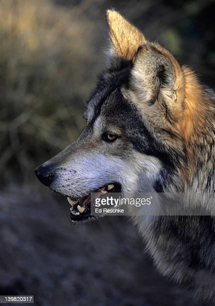 mexican wolf. endangered species. canis lupus baileyi. profile portrait. fewer than 50 remain in the wild. arizona sonora desert museum, tucson. arizona - planchas_de_plata,_sonora stock pictures, royalty-free photos & images
